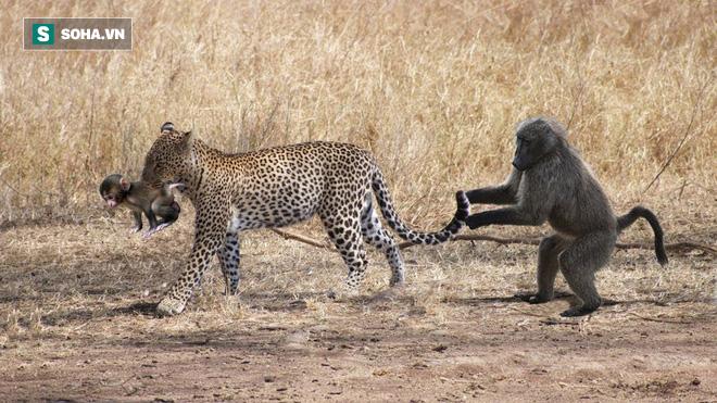 Trông con bất cẩn, đến lúc khỉ mẹ nghe thấy tiếng kêu cứu thì đã quá muộn - Ảnh 1.