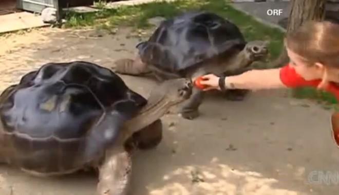 Đôi rùa khổng lồ không nhìn mặt nhau sau 115 năm chung sống: Đến rùa cũng không chịu được lời vợ cằn nhằn - Ảnh 1.