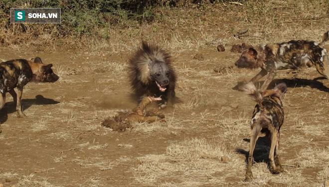 Linh cẩu hốt hoảng bỏ chạy trong đêm vì bị chó trong làng đánh đuổi - Ảnh 1.