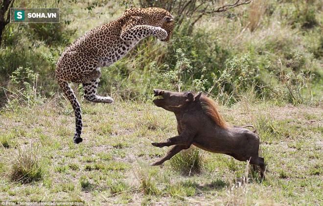 Tọa sơn quan hổ đấu: Báo thu lợi lớn trong cuộc chiến của hai lợn rừng đực - Ảnh 1.