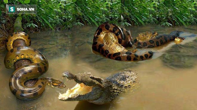 Trăn Nam Mỹ sắp giết chết cá sấu thì bất ngờ nó có hành động lạ - Ảnh 1.