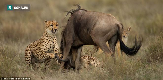 Bị cả đàn thờ ơ, linh dương què chân 1 mình chống lại 4 báo săn mà vẫn thắng - Ảnh 1.