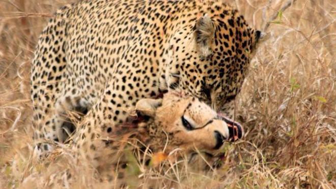 Thoát chết khỏi báo hoa mai, báo săn có hành vi bất thường như say rượu - Ảnh 1.