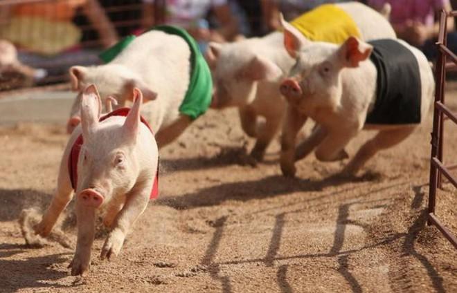 15 điều bất ngờ ít ai biết về lợn, con giáp biểu trưng cho sự thịnh vượng, sung túc - Ảnh 2.