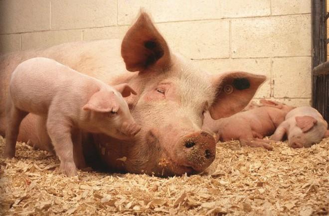 15 điều bất ngờ ít ai biết về lợn, con giáp biểu trưng cho sự thịnh vượng, sung túc - Ảnh 3.