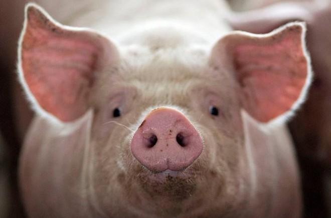 15 điều bất ngờ ít ai biết về lợn, con giáp biểu trưng cho sự thịnh vượng, sung túc - Ảnh 4.