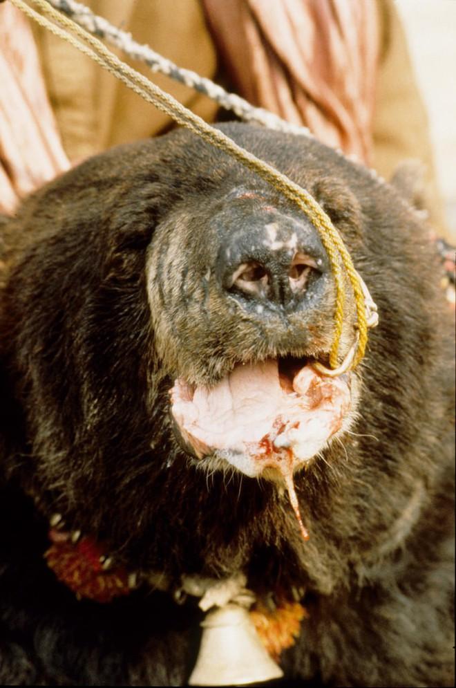 Chó ngao Pakistan điên cuồng lao vào cuộc chiến với gấu đen và kết thúc không ngờ - Ảnh 3.