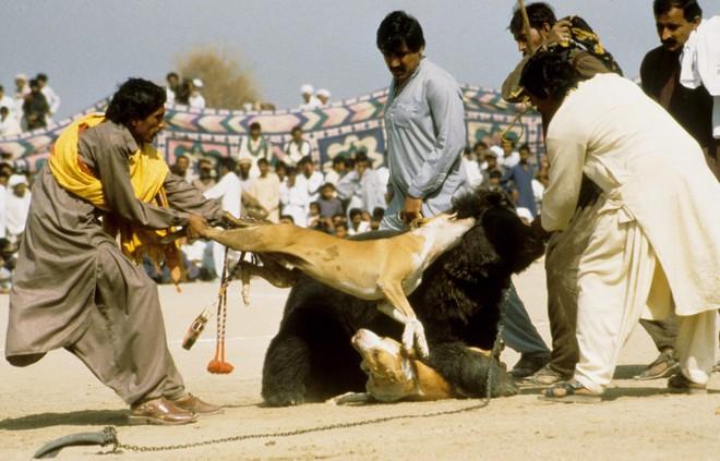 Chó ngao Pakistan điên cuồng lao vào cuộc chiến với gấu đen và kết thúc không ngờ - Ảnh 6.