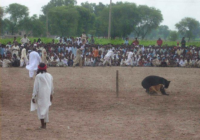 Chó ngao Pakistan điên cuồng lao vào cuộc chiến với gấu đen và kết thúc không ngờ - Ảnh 9.