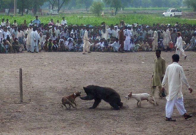 Chó ngao Pakistan điên cuồng lao vào cuộc chiến với gấu đen và kết thúc không ngờ - Ảnh 10.