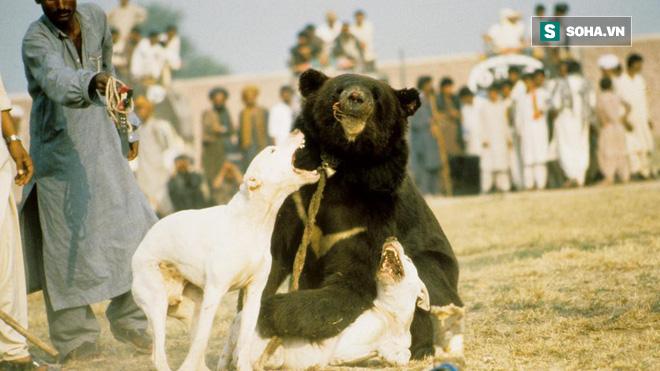 Chó ngao Pakistan điên cuồng lao vào cuộc chiến với gấu đen và kết thúc không ngờ - Ảnh 1.