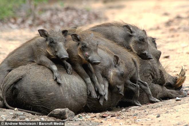 Nhân năm Kỷ Hợi tìm hiểu loài lợn cực thú vị: Mang ngà như voi, lại có đến 4 cái - Ảnh 12.