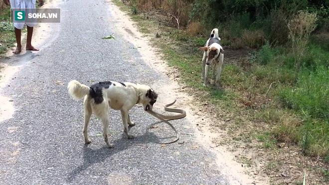 Oan gia ngõ hẹp: Chó nhà song kiếm hợp bích hạ gục con rắn dài 2m ngay trên đường - Ảnh 1.