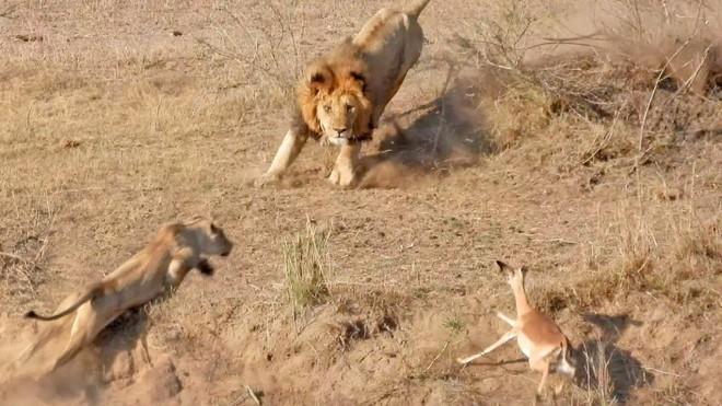 Tay chân vụng về, sư tử đực phá tan miếng ăn của phu nhân - Ảnh 2.