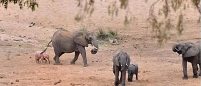Mục sở thị voi hồng hiếm có ở Nam Phi - Ảnh 1.