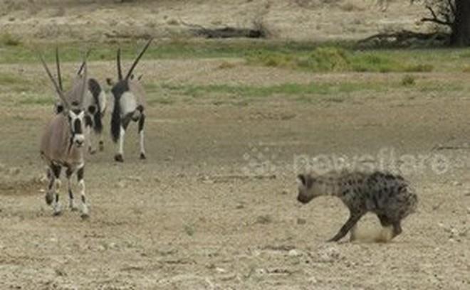 Thế giới động vật: Kỳ lạ linh cẩu lại có lúc nhún nhường linh dương
