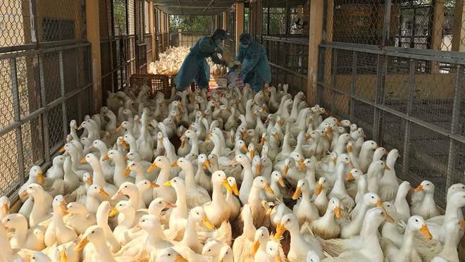 Chặn 900 con vịt nhiễm vi rút cúm gia cầm H5N6 trước khi vào lò mổ - Ảnh 1.
