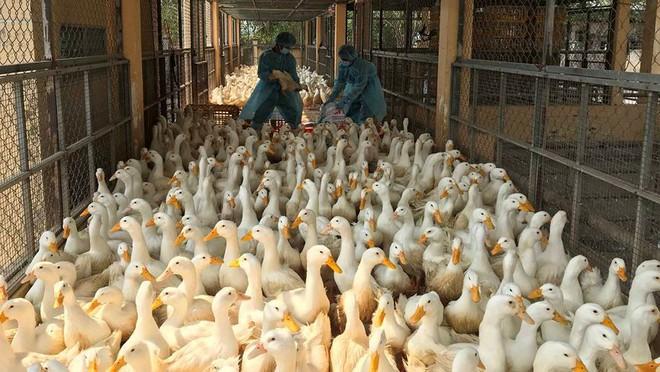 Chặn 900 con vịt nhiễm vi rút cúm gia cầm H5N6 trước khi vào lò mổ - Ảnh 11.