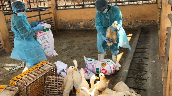 Chặn 900 con vịt nhiễm vi rút cúm gia cầm H5N6 trước khi vào lò mổ - Ảnh 5.