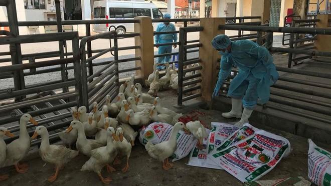 Chặn 900 con vịt nhiễm vi rút cúm gia cầm H5N6 trước khi vào lò mổ - Ảnh 6.