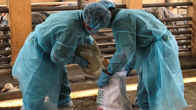 Chặn 900 con vịt nhiễm vi rút cúm gia cầm H5N6 trước khi vào lò mổ - Ảnh 7.