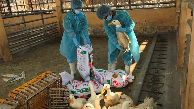 Chặn 900 con vịt nhiễm vi rút cúm gia cầm H5N6 trước khi vào lò mổ - Ảnh 8.