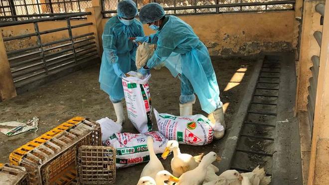 Chặn 900 con vịt nhiễm vi rút cúm gia cầm H5N6 trước khi vào lò mổ - Ảnh 9.