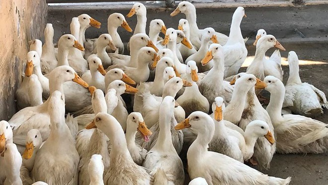 Chặn 900 con vịt nhiễm vi rút cúm gia cầm H5N6 trước khi vào lò mổ - Ảnh 10.