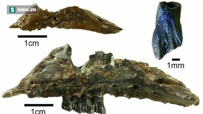 Phát hiện hóa thạch khủng long mới ở Australia: Chỉ nhỏ như con chuột túi - Ảnh 1.