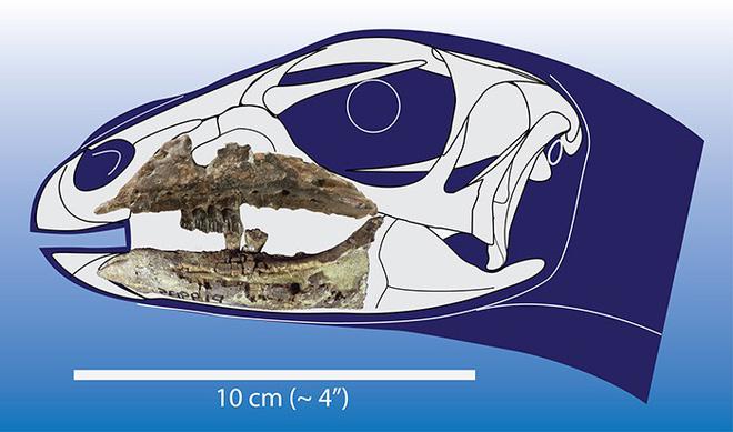 Phát hiện hóa thạch khủng long mới ở Australia: Chỉ nhỏ như con chuột túi - Ảnh 3.