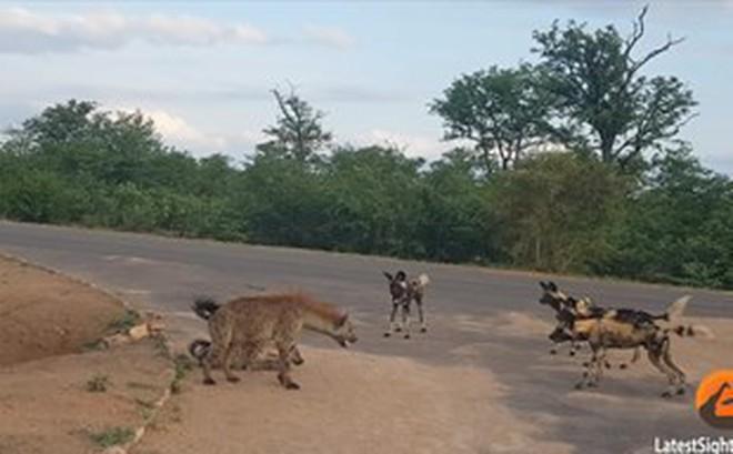 Thế giới động vật: Linh cẩu liều mình đối đầu với 17 con chó hoang