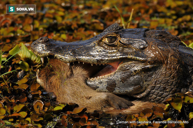 Vừa chén được chuột lang nước, cá sấu bỏ mạng vì kẻ thứ ba đứng rình phía sau - Ảnh 1.