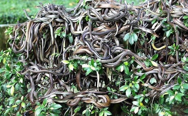 Sự thật về hòn đảo nọc độc nguy hiểm bậc nhất thế giới, bị hơn 400.000 con rắn xâm chiếm - Ảnh 1.