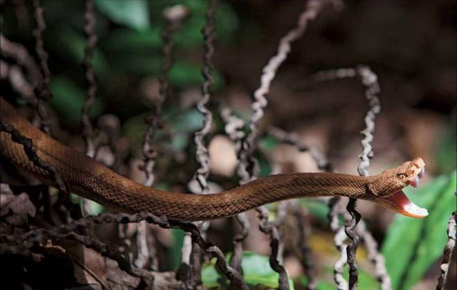 Sự thật về hòn đảo nọc độc nguy hiểm bậc nhất thế giới, bị hơn 400.000 con rắn xâm chiếm - Ảnh 5.