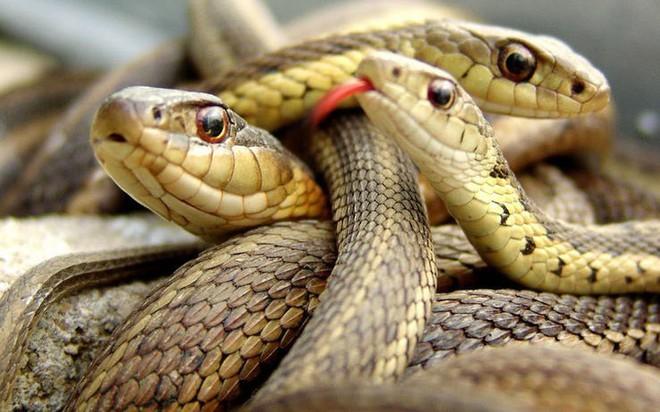 Sự thật về hòn đảo nọc độc nguy hiểm bậc nhất thế giới, bị hơn 400.000 con rắn xâm chiếm - Ảnh 3.