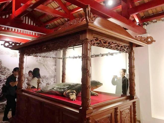 Tiêu bản cụ rùa hồ Gươm được đưa vào trưng bày ở đền Ngọc Sơn - Ảnh 4.