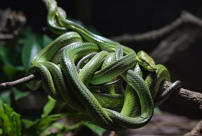 Sự thật về hòn đảo nọc độc nguy hiểm bậc nhất thế giới, bị hơn 400.000 con rắn xâm chiếm - Ảnh 6.
