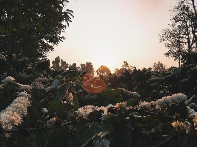 Cô gái khoe vườn hoa cà phê trắng muốt như tuyết, dân mạng bình luận sự thật ít người biết - Ảnh 5.
