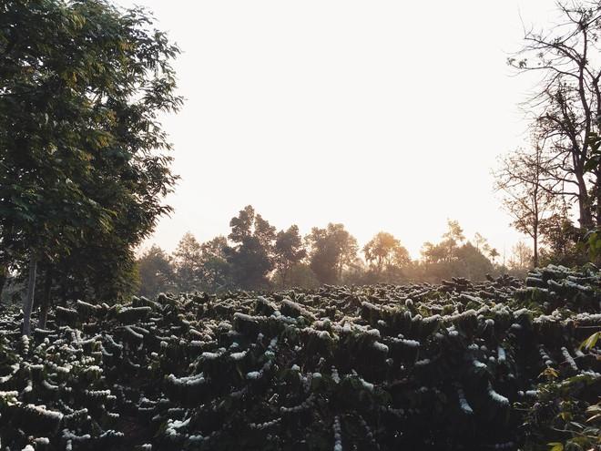 Cô gái khoe vườn hoa cà phê trắng muốt như tuyết, dân mạng bình luận sự thật ít người biết - Ảnh 4.