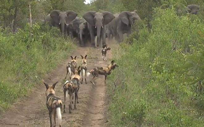 Thế giới động vật: Chó hoang nối đuôi nhau bỏ chạy khi gặp voi