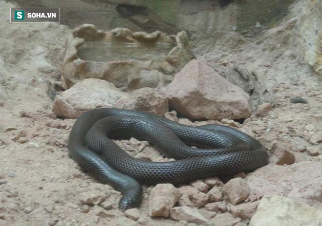 Kỳ lạ: Loài rắn độc có thể tấn công với cách chưa từng thấy ở Tây Phi - Ảnh 1.