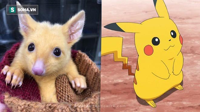 Thế giới động vật: Bất ngờ phát hiện loài thú hiếm và có ngoại hình giống y Pikachu - Ảnh 1.