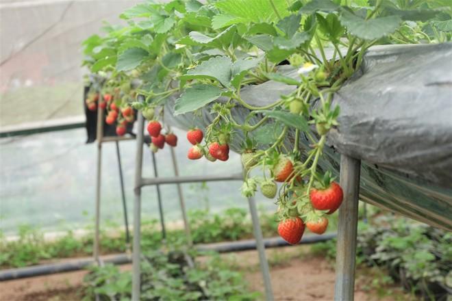Trang trại dâu tây Hà Nội gây sốt, khách ùn ùn đến hái sạch quả chín - Ảnh 1.