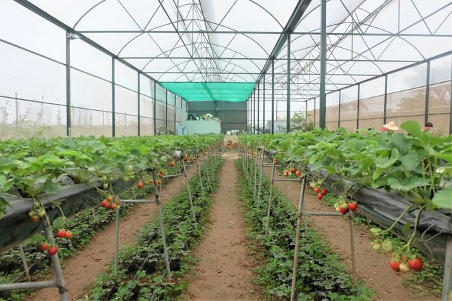 Trang trại dâu tây Hà Nội gây sốt, khách ùn ùn đến hái sạch quả chín - Ảnh 2.
