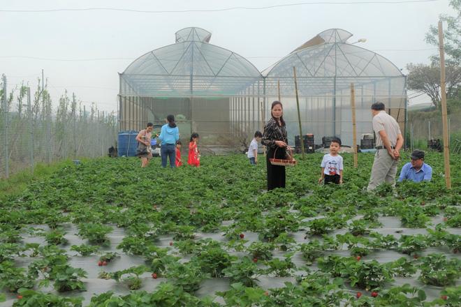 Trang trại dâu tây Hà Nội gây sốt, khách ùn ùn đến hái sạch quả chín - Ảnh 5.