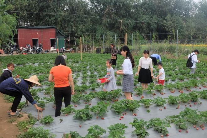 Trang trại dâu tây Hà Nội gây sốt, khách ùn ùn đến hái sạch quả chín - Ảnh 8.