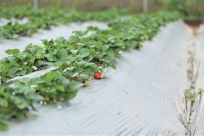 Trang trại dâu tây Hà Nội gây sốt, khách ùn ùn đến hái sạch quả chín - Ảnh 7.