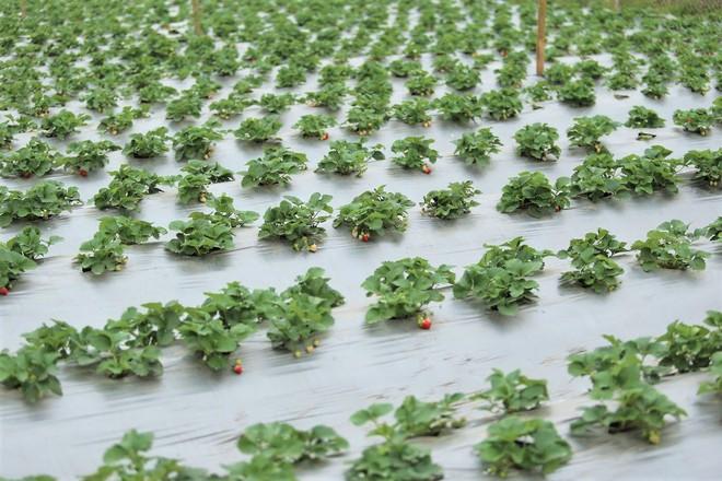 Trang trại dâu tây Hà Nội gây sốt, khách ùn ùn đến hái sạch quả chín - Ảnh 6.
