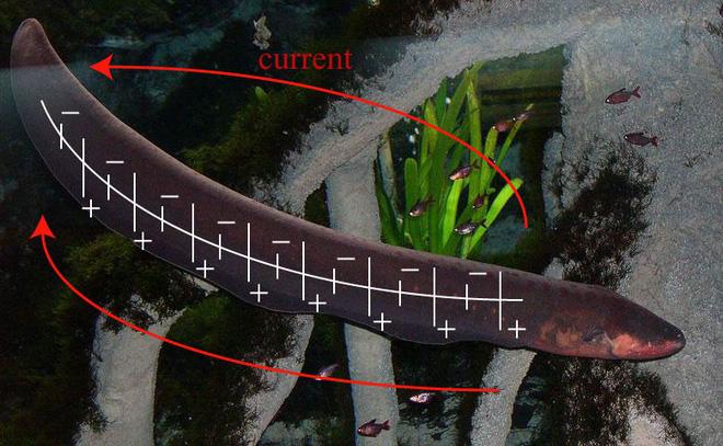 Giải mã cơ chế phóng điện của thủy quái Amazon, kẻ có thể dễ dàng giết chết cá sấu - Ảnh 3.