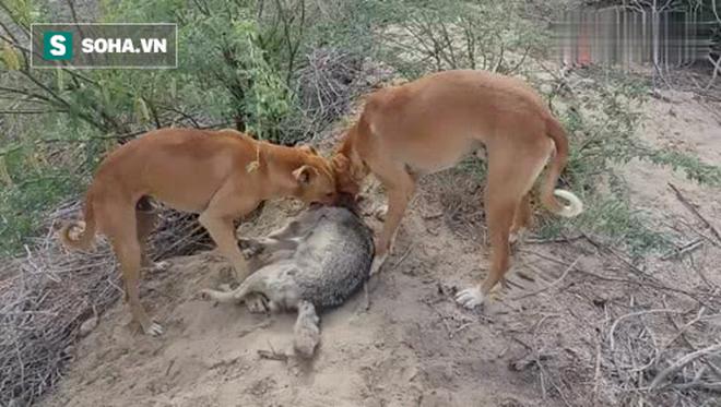 Lẻn vào nhà dân ăn thịt cừu, chó sói bị đội bảo vệ tẩn cho nhừ đòn - Ảnh 1.